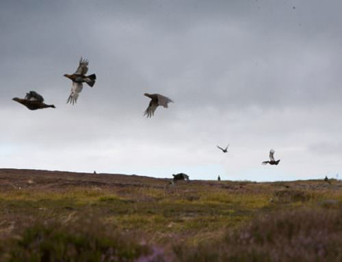 A Glorious Twelfth – Grouse Shooting Begins